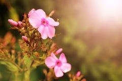 Gentilles fleurs roses sur le fond blanc Images stock