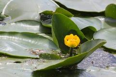 Gentle лилия желтой воды blossomed в реке Стоковое Изображение