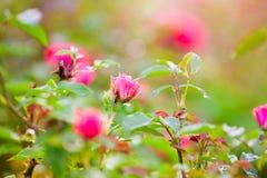 Gentle полу-дунутая роза пинка Стоковая Фотография