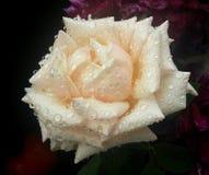 Gentle розовый цветок после дождя Стоковая Фотография RF