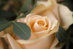 Gentle розовый цветок Стоковые Изображения RF