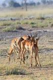 Gentle antelopes impala Royalty Free Stock Images