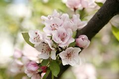 Gentle apple blossoms close-up Royalty Free Stock Photography
