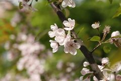 Gentle apple blossoms close-up Royalty Free Stock Photo