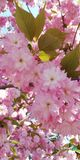 Gentle background. Blooming almonds. Beautiful clusters of pink flowers royalty free stock photos