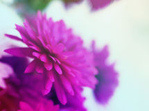 Gentle background with flowers of claret chrysanthemums Royalty Free Stock Photography