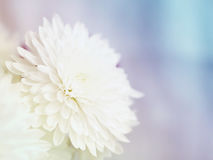Gentle background with flowers of white chrysanthemums Stock Images