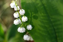 Gentle beautiful lily of the valley flower on a background of green leaves on a sunny spring day. Shadows on green leaves. Soft stock image