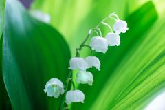 Gentle beautiful lily of the valley flower on a background of green leaves on a sunny spring day. Soft focus stock images
