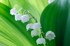 Gentle beautiful lily of the valley flower on a background of green leaves on a sunny spring day. Soft focus royalty free stock photography