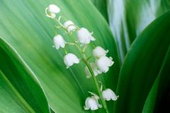 Gentle beautiful lily of the valley flower blooms against a background of green leaves on a sunny spring day. Soft focus stock photos