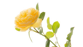Gentle beautiful yellow rose Royalty Free Stock Image