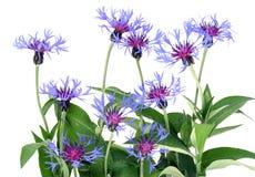 Gentle blue cornflowers Stock Photography