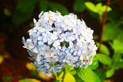 Gentle blue hydrangea with a blue heart: delicate petals in green leaves, bud consists of small inflorescences. stock image