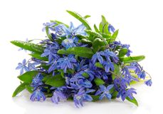 Gentle blue scilla with drops Stock Image