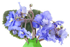 Gentle blue violets Stock Image