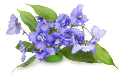 Gentle blue violets flowers Stock Photography