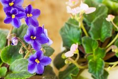 Gentle blue violets Stock Photos