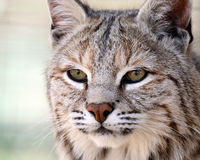 Gentle Bobcat. Closeup of a Bobcat against a blurred background Royalty Free Stock Photos