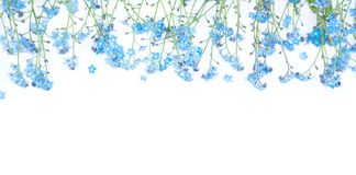 Gentle Border of blue forget-me-not flowers on white background Stock Images