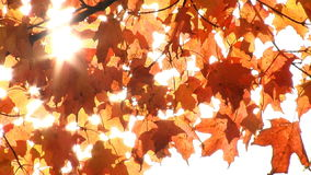 Gentle breeze through branch of maple tree. With red leaves stock video footage