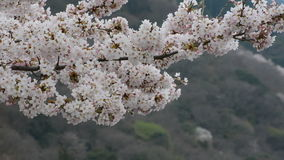 Gentle breeze rustling white flowers on a Yoshino cherry tree in Japan during spring 2016 stock video footage