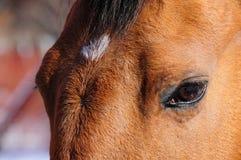 Gentle Brownie's Eyes Royalty Free Stock Photo