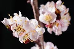 Gentle cherry blossom flowers closeup. On dark  background Stock Photos