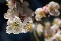 Gentle cherry blossom flowers closeup. On dark  background Royalty Free Stock Photos