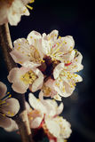 Gentle cherry blossom flowers closeup on dark background. Enlighten by sun Royalty Free Stock Image