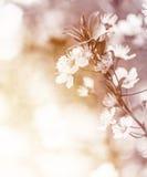 Gentle cherry flowers Stock Photo