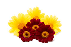 Gentle colors yellow daisies Royalty Free Stock Photography