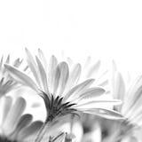 Gentle daisy flowers stock photo