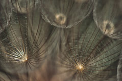 Gentle dandelion seeds Royalty Free Stock Images