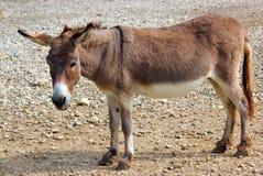 Gentle donkey. Crossing the desert Stock Photos