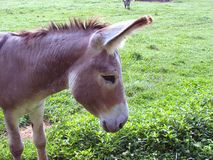 Gentle Donkey Stock Image
