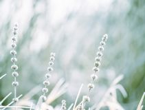 A gentle dry flowers covered with white fluffy hoarfrost. A beautiful gentle flower in the frost. The first frost. Selective soft royalty free stock photo