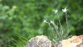 Gentle edelweiss flower grown on cold rocky mountains, green nature stock video