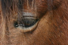 A gentle and empathetic horse. Captures the emotion of a beautiful brown horse Royalty Free Stock Image