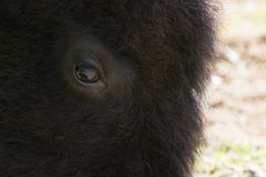 Gentle eye of a large American Bison, or Buffalo Royalty Free Stock Images