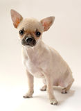 Gentle fawn Chihuahua puppy Royalty Free Stock Photo
