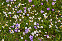 Gentle field purple flowers in green grass Royalty Free Stock Photos