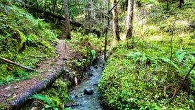 Gentle flödande ström i ett ljust - grön redwoodträdskog lager videofilmer