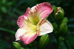 Gentle flower of a hemerocallis. Royalty Free Stock Image