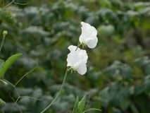 Gentle flowering peas on the bed. The white flower will soon turn into a ripe pod Royalty Free Stock Image