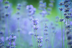 Gentle flowers of lavender lavender. Royalty Free Stock Photo