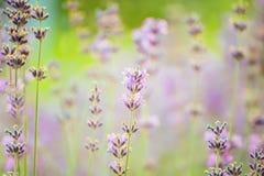 Gentle flowers of lavender lavender. Stock Photo