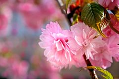 Gentle flowers of sakura Stock Photos