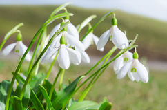 Gentle and fragile first springtime tender snowdrops flowers Royalty Free Stock Image