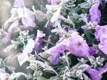 Gentle frozen flowers. Purple frozen flowers in white hoarfrost royalty free stock photo